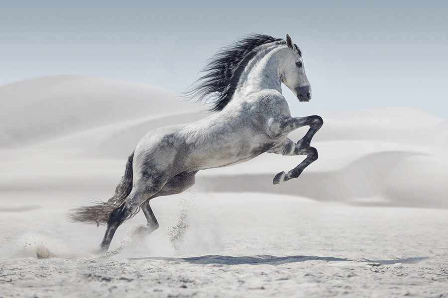 A REARING WHITE HORSE